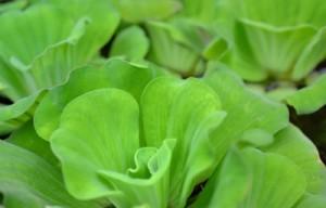 Aeroponics LED Grow Light Lettuce